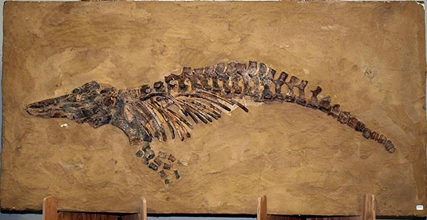 Whale Fossils - Crystalinks