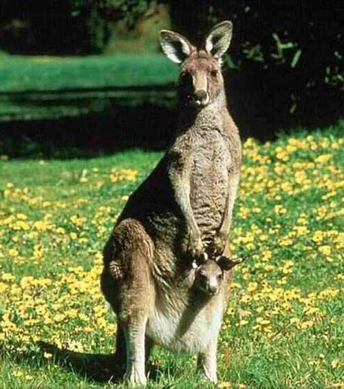 external image kangaroo.jpg