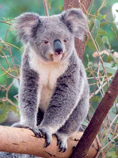 Koala Bears  Crystalinks