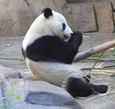 giant panda endangered essay writer