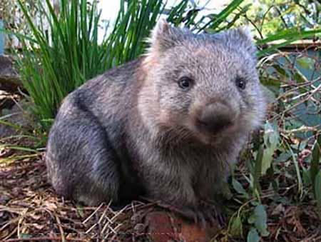 koala bear wikipedia